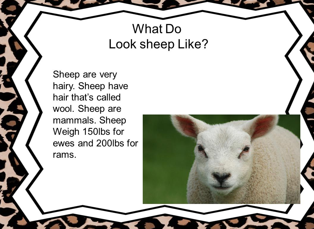 What Do Look sheep Like Sheep are very hairy. Sheep have hair that's called wool. Sheep are mammals. Sheep.