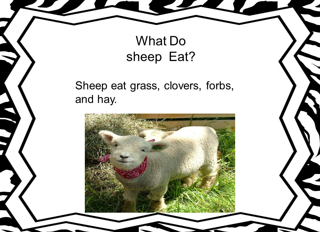 What Do sheep Eat Sheep eat grass, clovers, forbs, and hay.