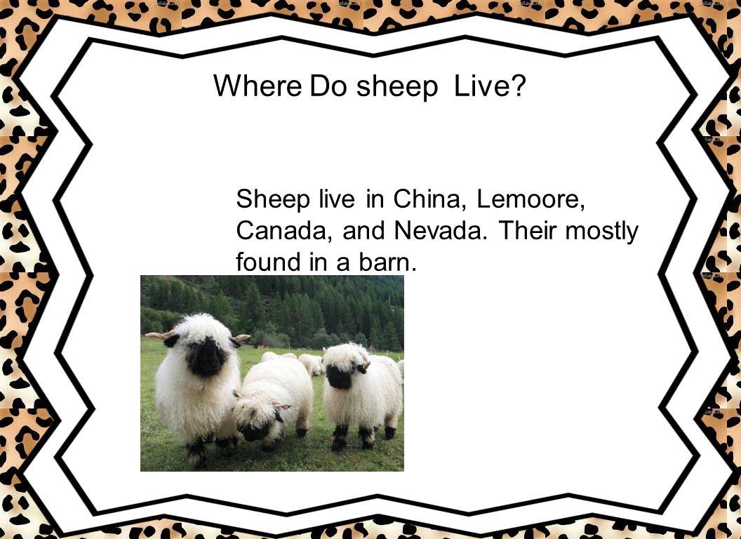 Where Do sheep Live Sheep live in China, Lemoore,