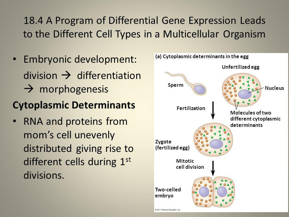 Embryonic development: division  differentiation  morphogenesis