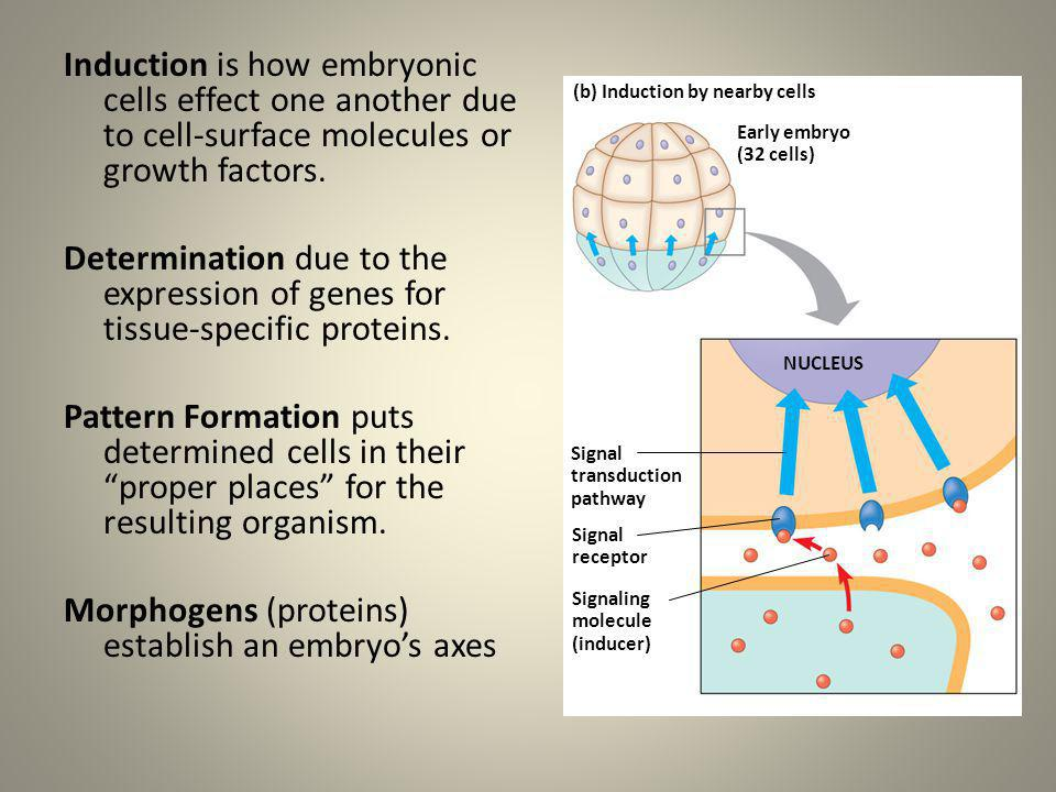Morphogens (proteins) establish an embryo's axes