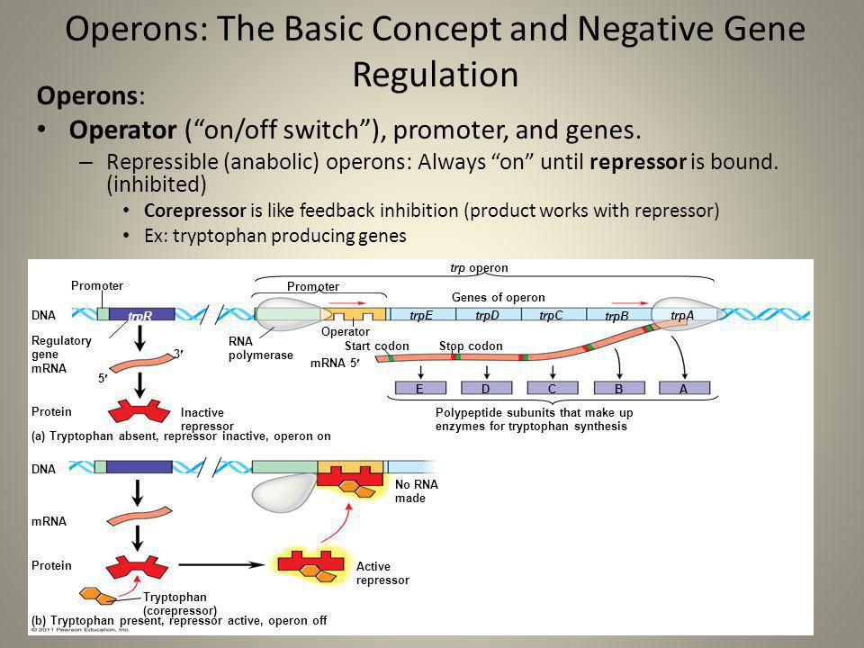 Operons: The Basic Concept and Negative Gene Regulation