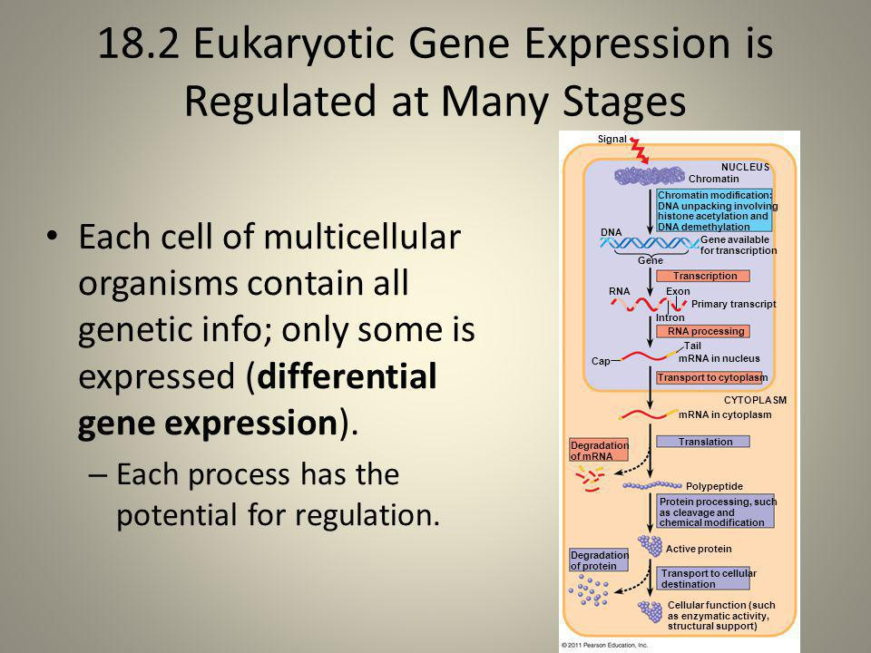 18.2 Eukaryotic Gene Expression is Regulated at Many Stages