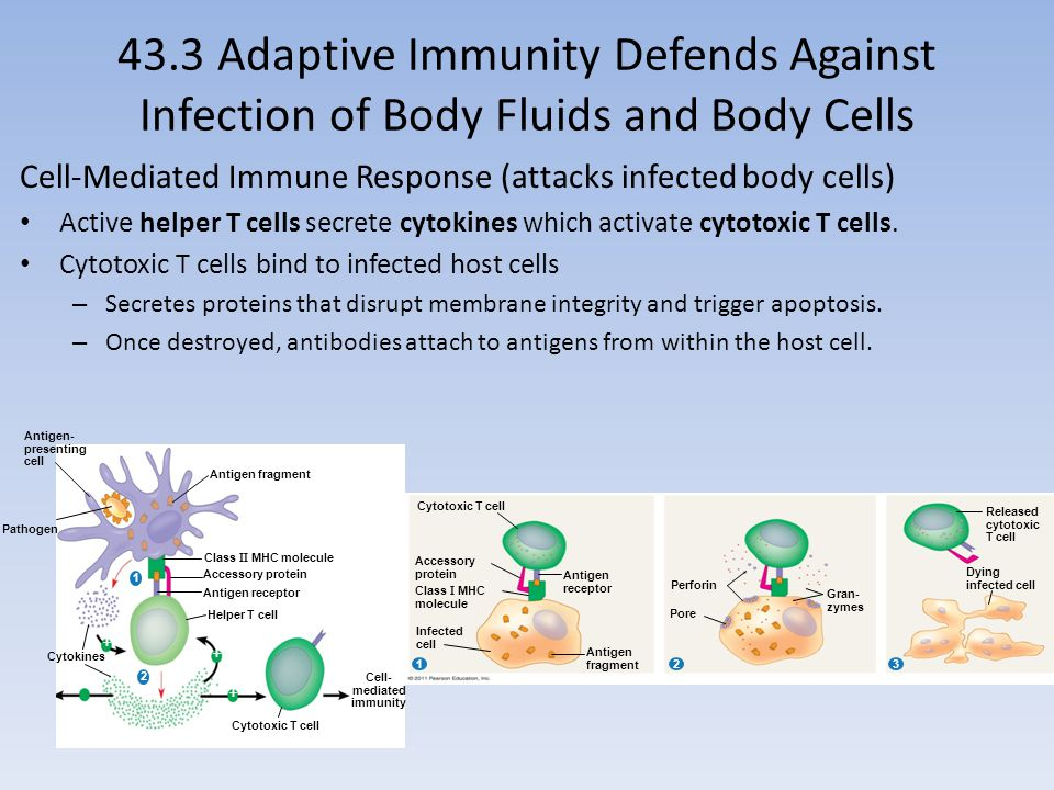 Cell- mediated immunity