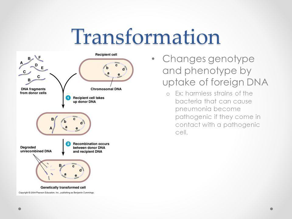 Transformation Changes genotype and phenotype by uptake of foreign DNA