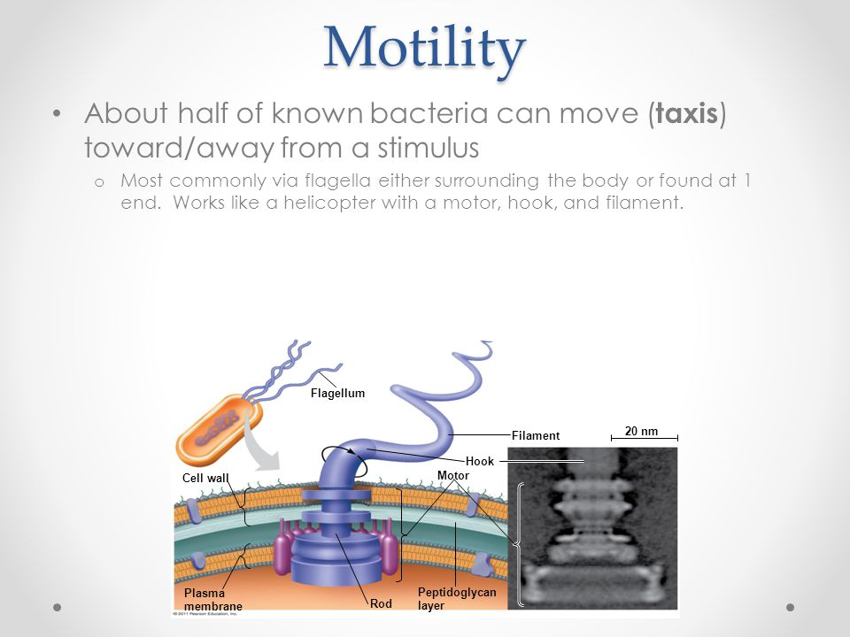 Motility About half of known bacteria can move (taxis) toward/away from a stimulus.