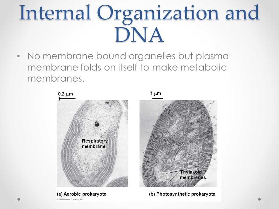 Internal Organization and DNA