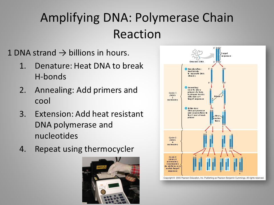 Amplifying DNA: Polymerase Chain Reaction
