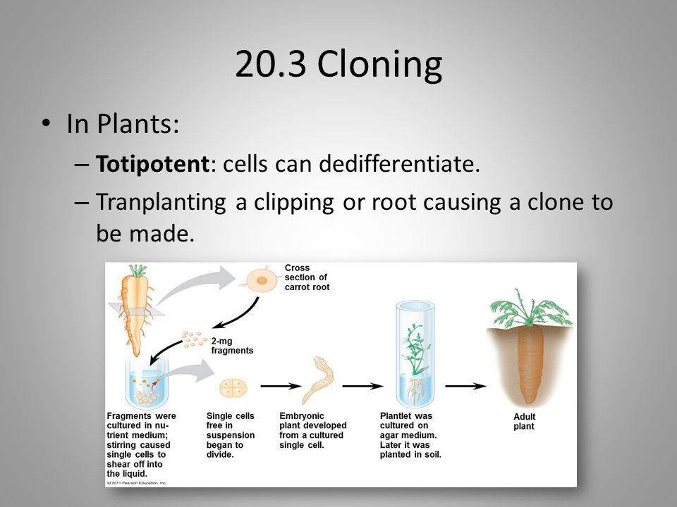 20.3 Cloning In Plants: Totipotent: cells can dedifferentiate.