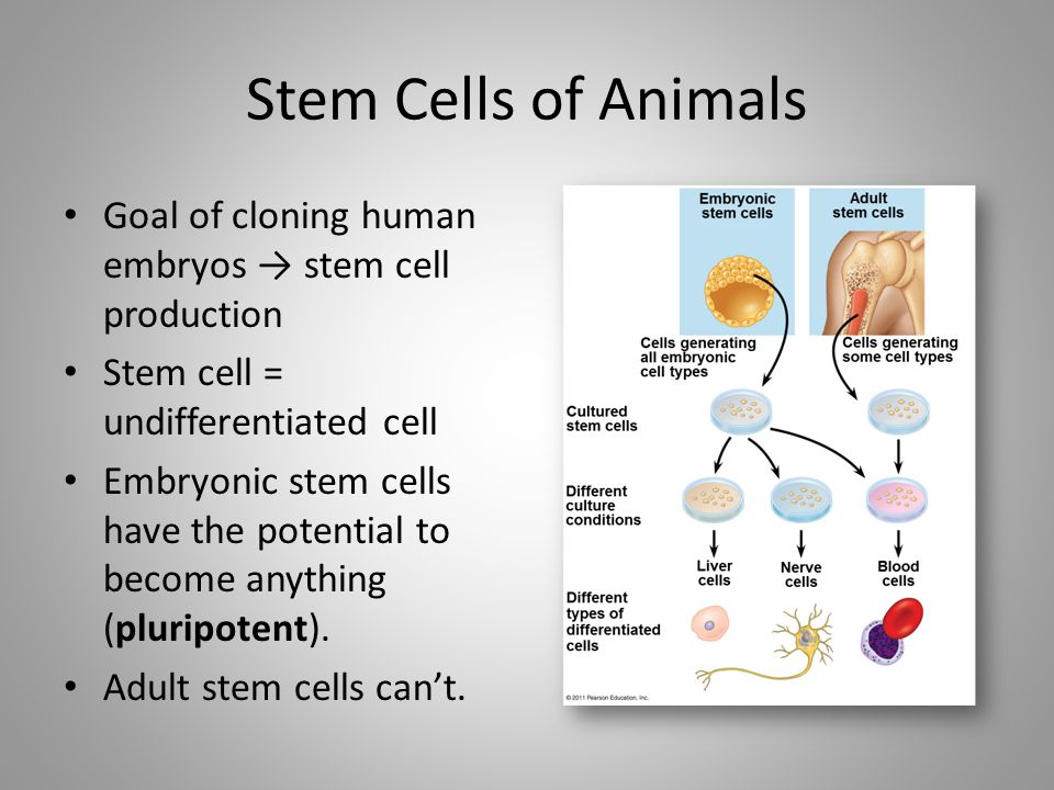 Stem Cells of Animals Goal of cloning human embryos → stem cell production. Stem cell = undifferentiated cell.