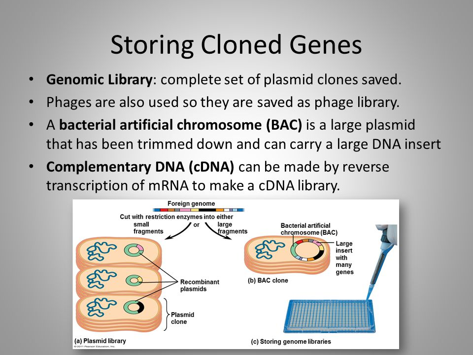 Storing Cloned Genes Genomic Library: complete set of plasmid clones saved. Phages are also used so they are saved as phage library.