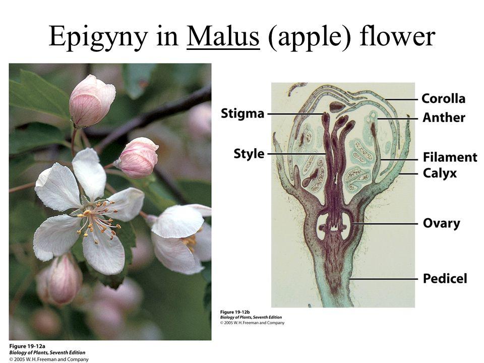 Epigyny in Malus (apple) flower