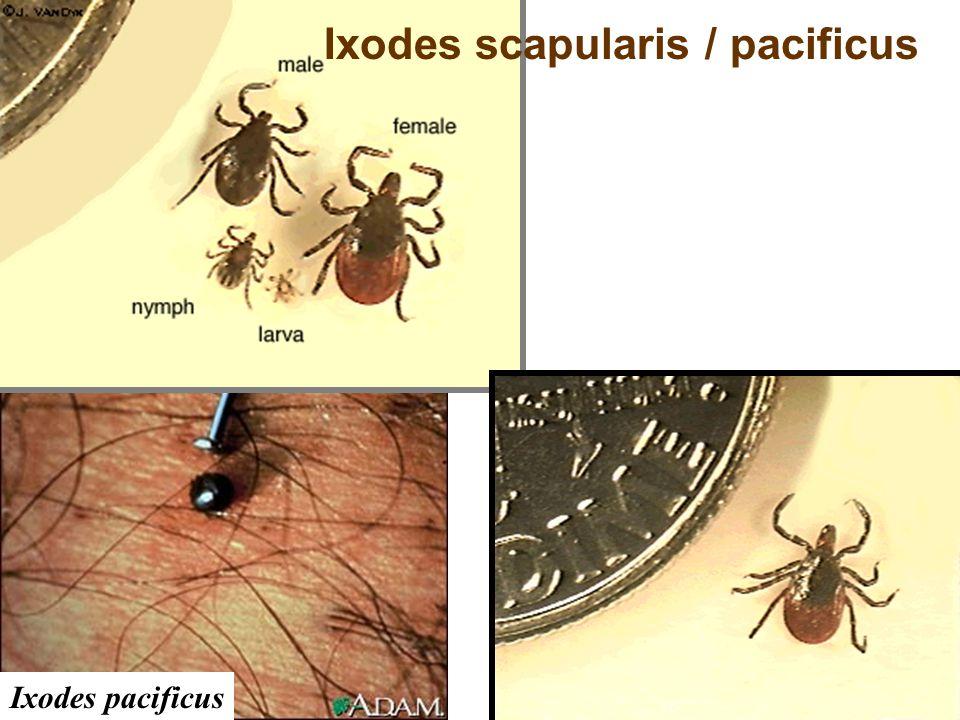 Ixodes scapularis / pacificus