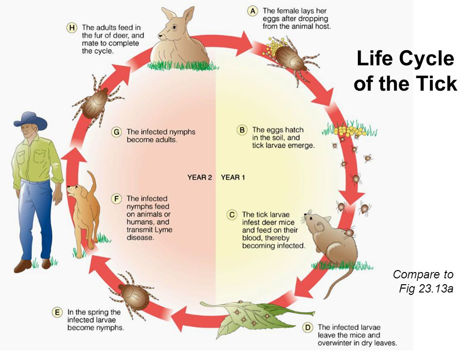 Life Cycle of the Tick Compare to Fig 23.13a