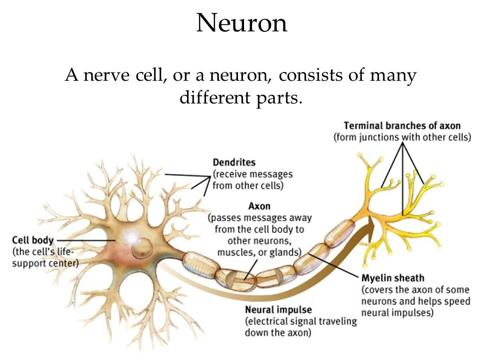 A nerve cell, or a neuron, consists of many different parts.
