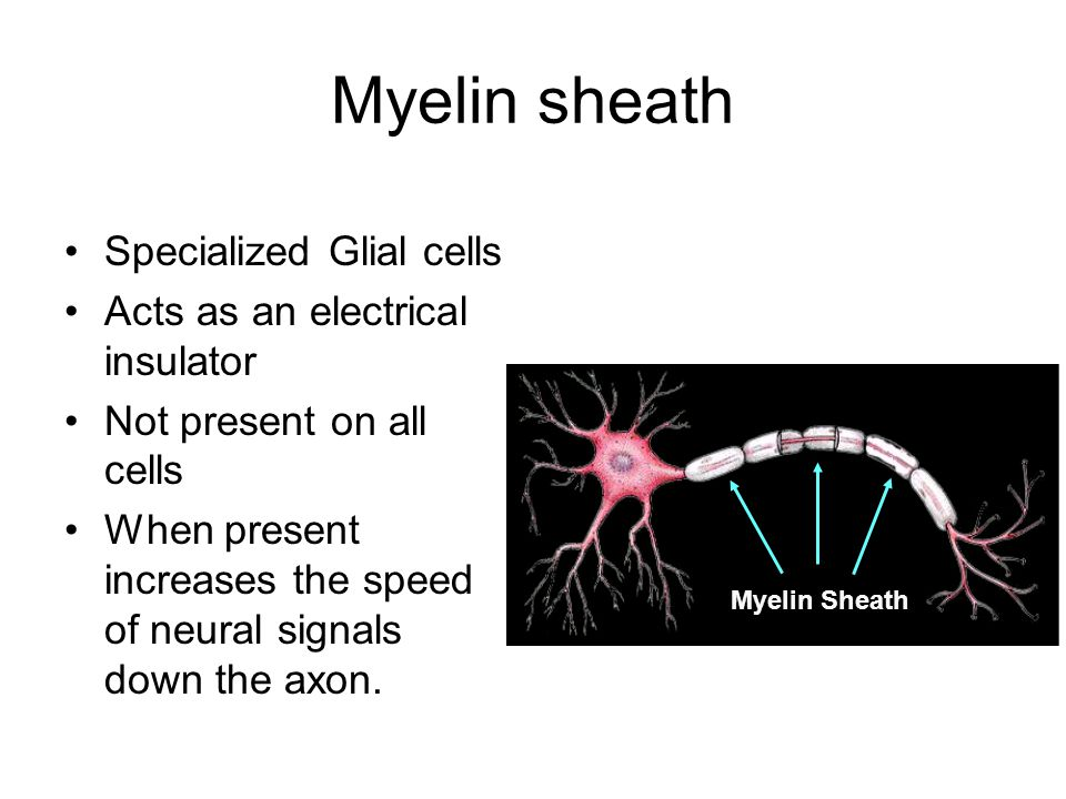 Myelin sheath Specialized Glial cells Acts as an electrical insulator