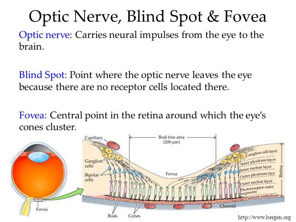Optic Nerve, Blind Spot & Fovea