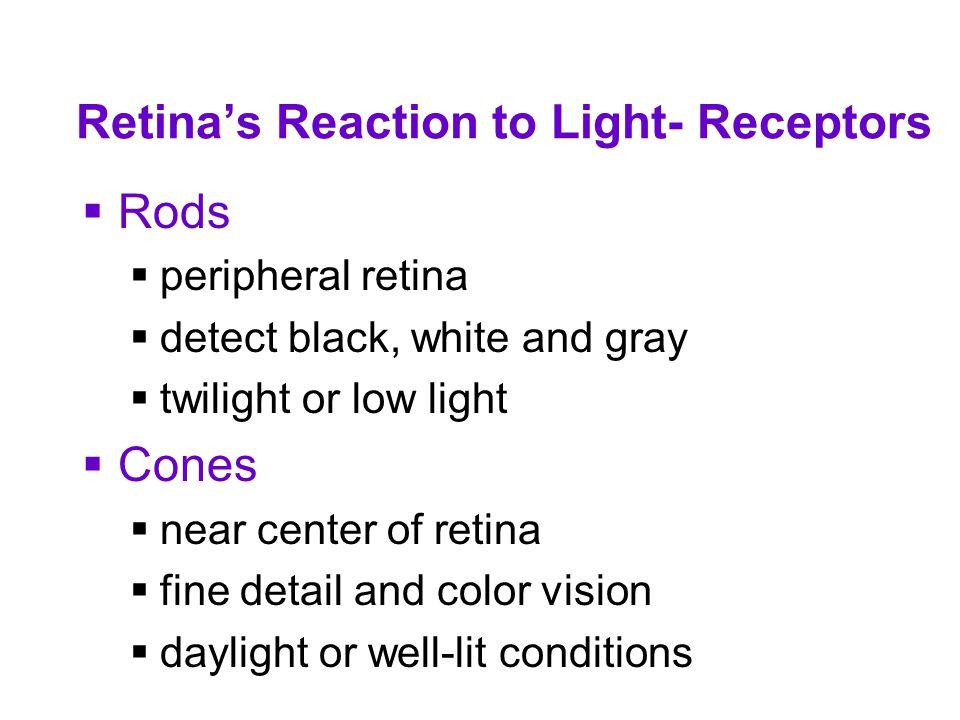 Retina's Reaction to Light- Receptors