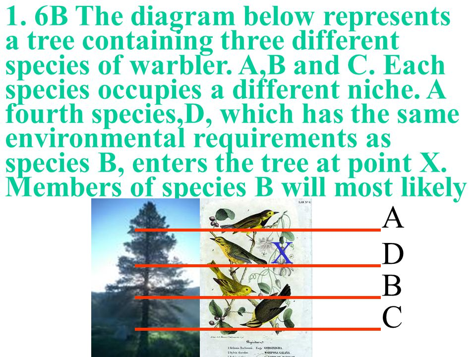 1. 6B The diagram below represents a tree containing three different species of warbler. A,B and C. Each species occupies a different niche. A fourth species,D, which has the same environmental requirements as species B, enters the tree at point X. Members of species B will most likely