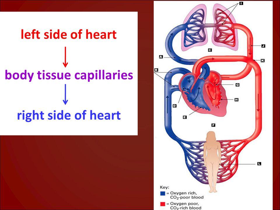 body tissue capillaries