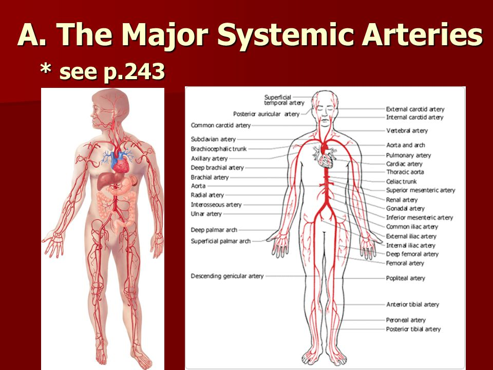 A. The Major Systemic Arteries