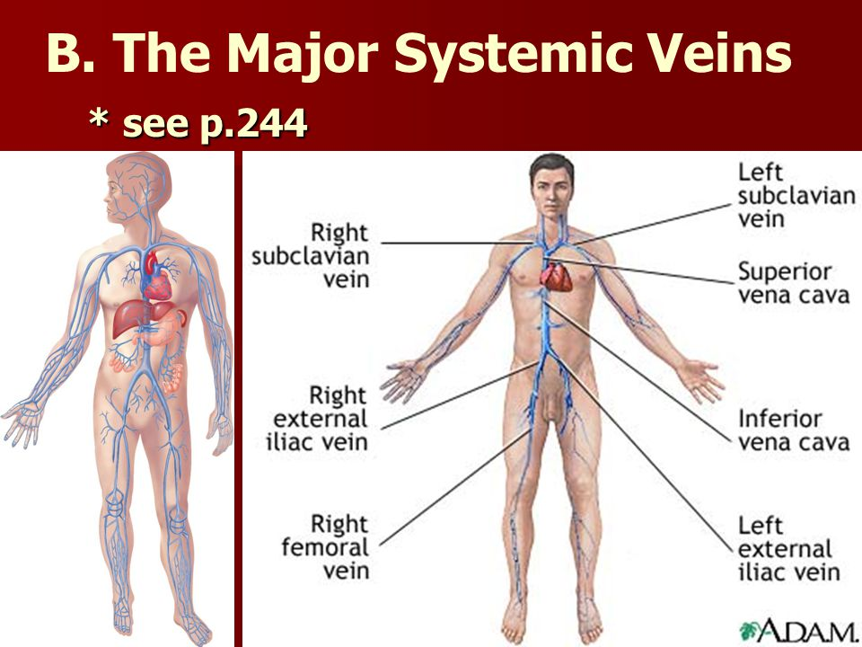 B. The Major Systemic Veins
