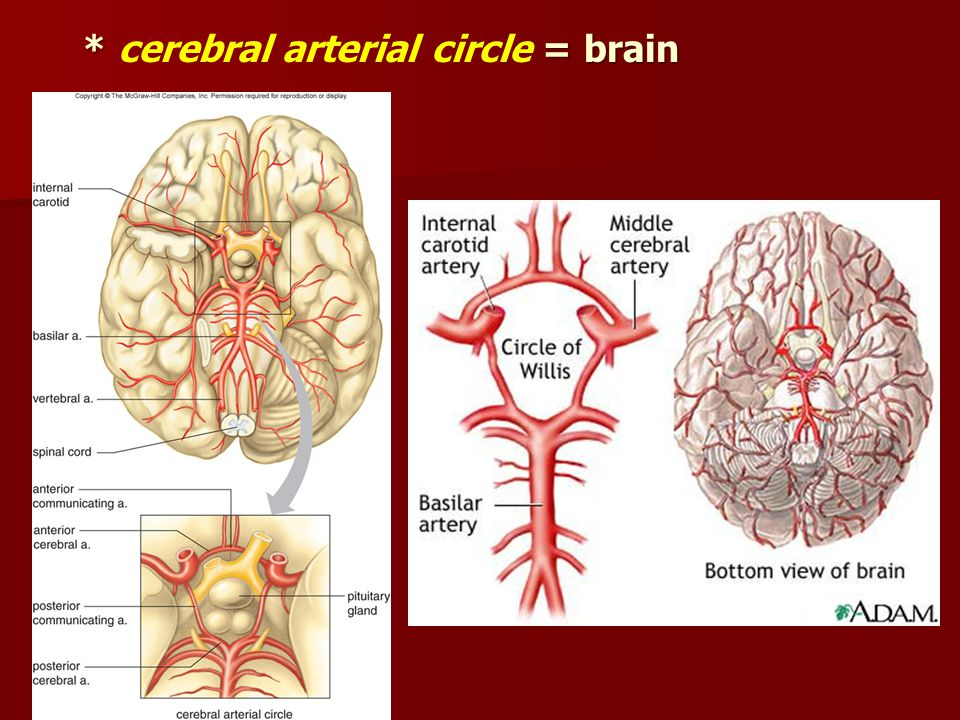 * cerebral arterial circle = brain