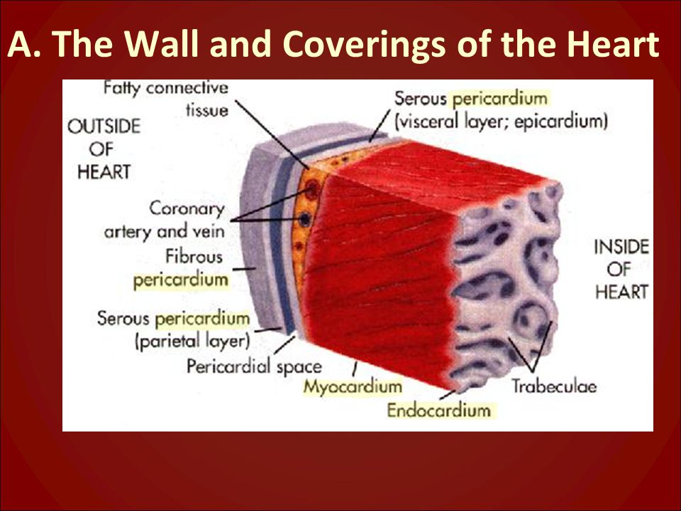 A. The Wall and Coverings of the Heart