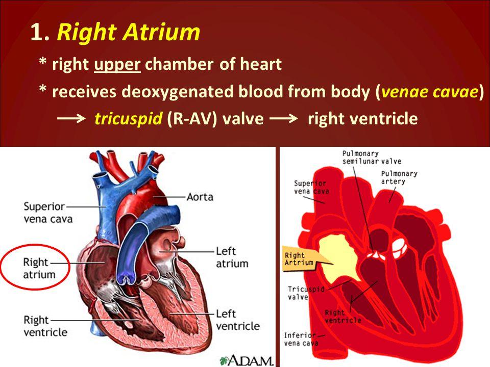 1. Right Atrium * right upper chamber of heart