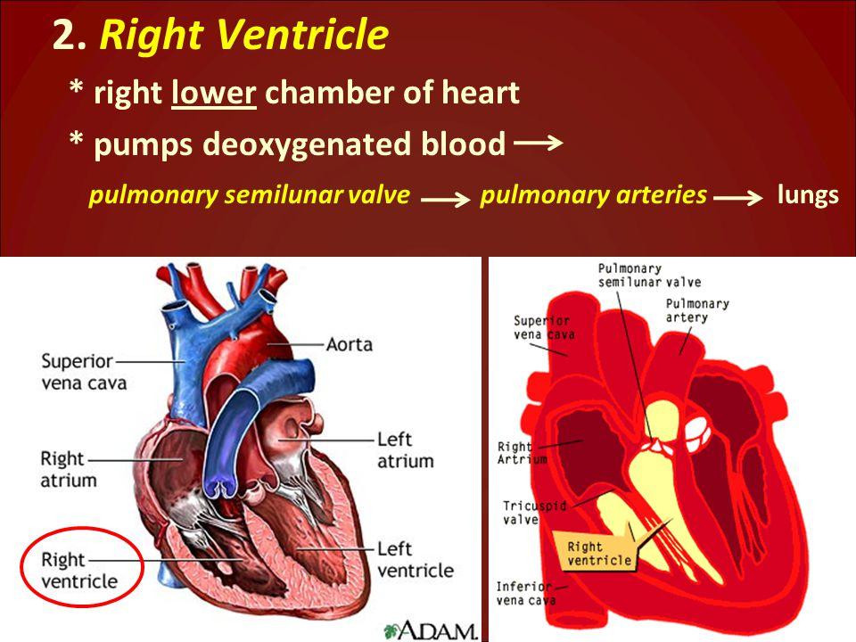 2. Right Ventricle * right lower chamber of heart