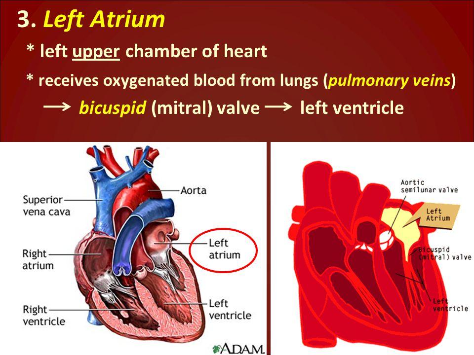 3. Left Atrium * left upper chamber of heart