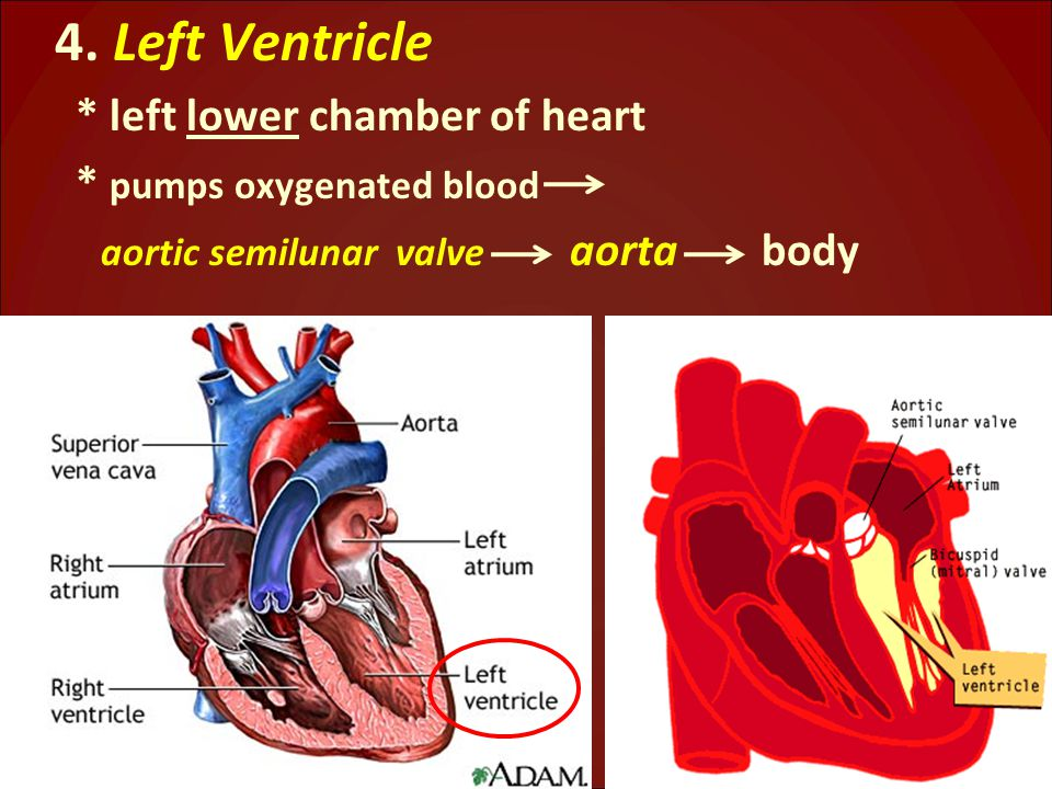 4. Left Ventricle * left lower chamber of heart