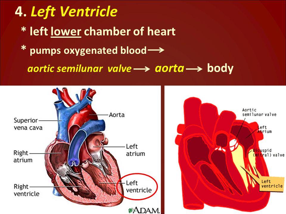 4. Left Ventricle * left lower chamber of heart