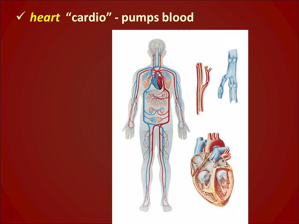 heart cardio - pumps blood