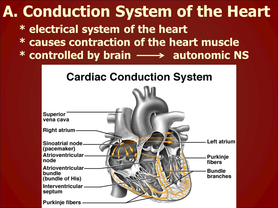 A. Conduction System of the Heart