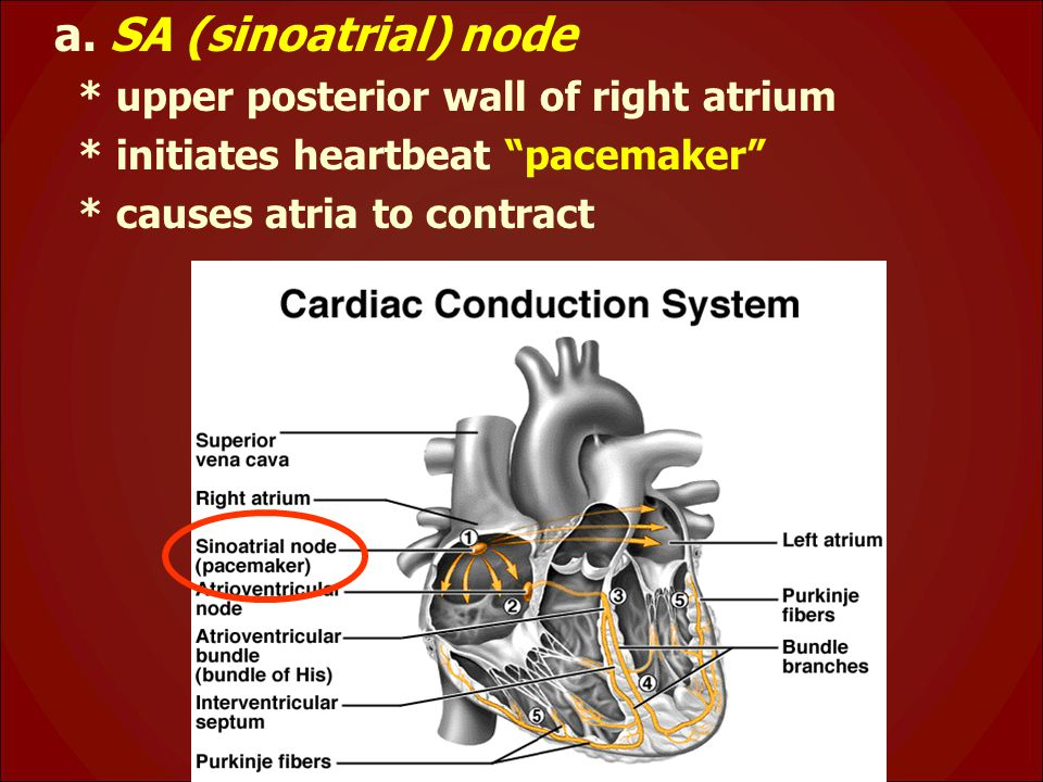 a. SA (sinoatrial) node * upper posterior wall of right atrium