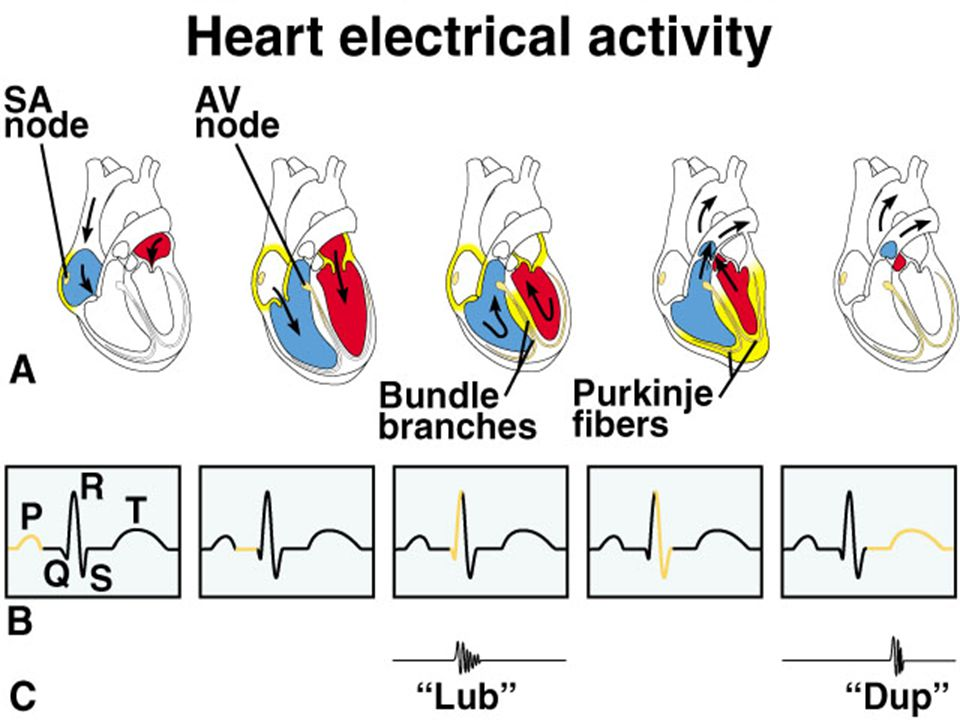 A - SA node initiates impulse which spreads rapidly to all cardiac muscle cells of atria (via intercalated disks). Atria contract pushing blood into ventricles. Signal is picked up by AV node & transmitted through bundle branches to the Purkinje fibers. Impulse spreads rapidly to all cardiac muscle cells of ventricles (via intercalated disks). Ventricles contract causing bicuspid & tricuspid valves to snap shut (causes lub sound). This forces blood in right ventricle into pulmonary arteries & in left ventricle into aorta. When ventricles relax, the pulmonary & aortic semilunar valves snap shut (causes dup sound).