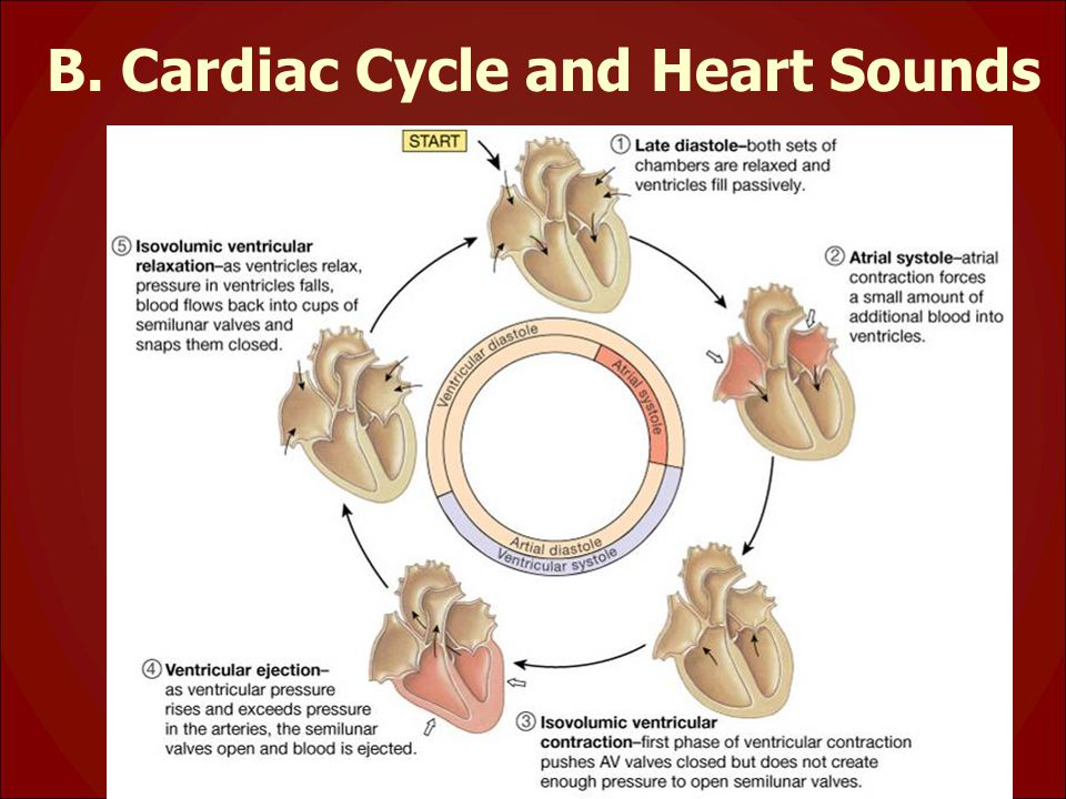 B. Cardiac Cycle and Heart Sounds