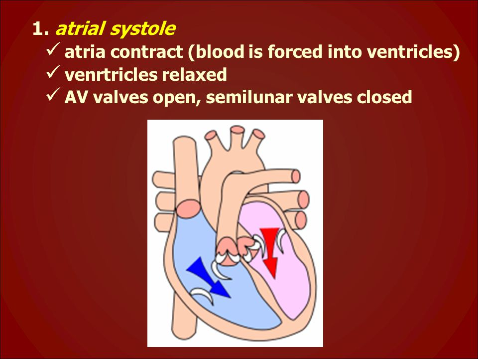 1. atrial systole atria contract (blood is forced into ventricles)