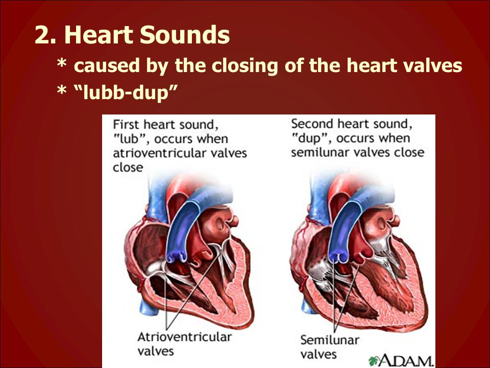 2. Heart Sounds * caused by the closing of the heart valves