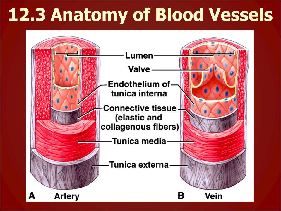 12.3 Anatomy of Blood Vessels