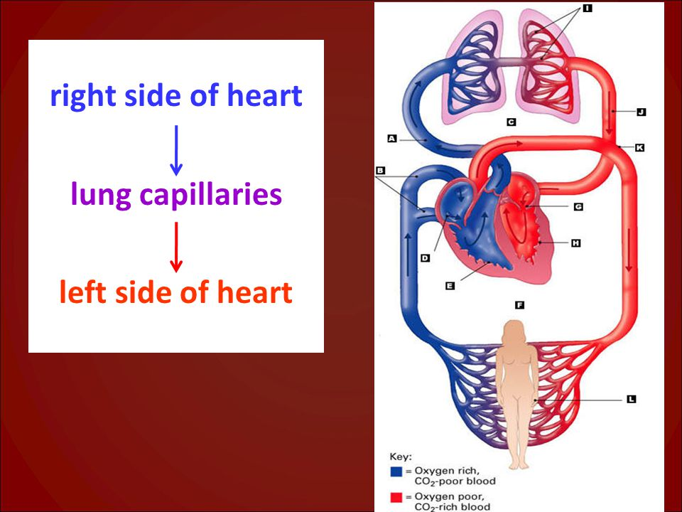 right side of heart lung capillaries left side of heart