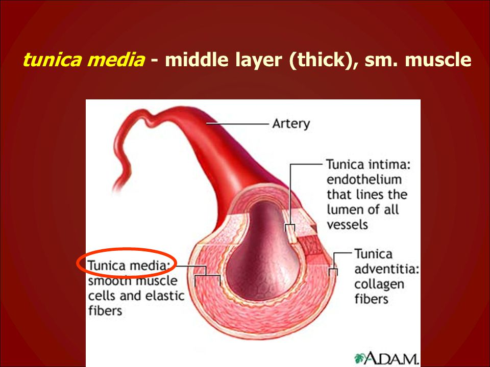 tunica media - middle layer (thick), sm. muscle