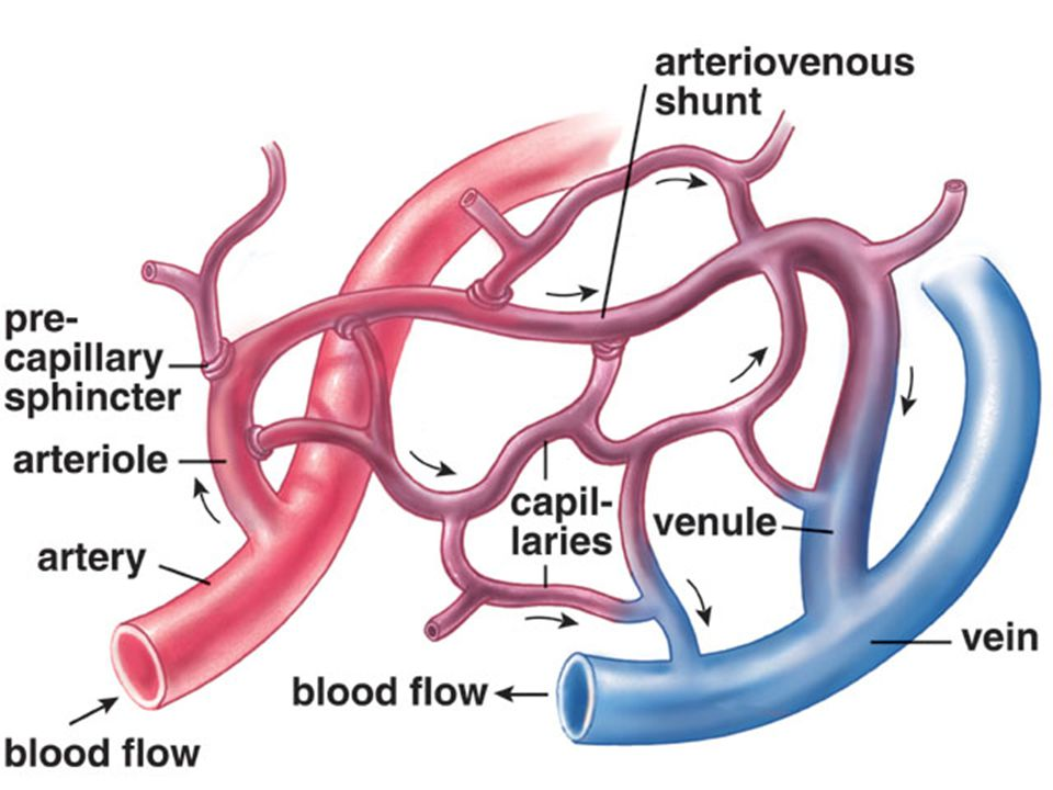Capillaries form networks in the body