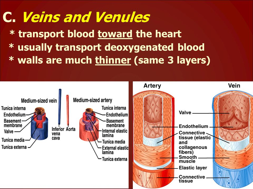 C. Veins and Venules * transport blood toward the heart