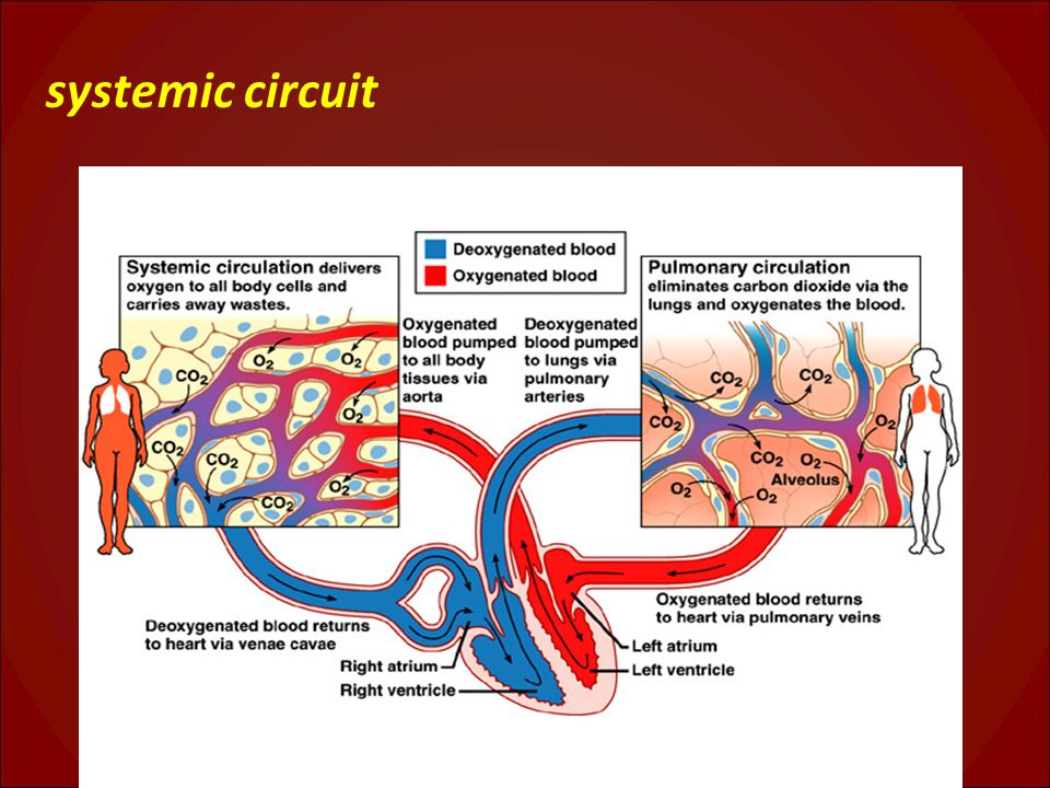 systemic circuit