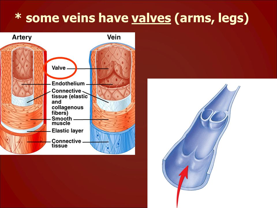 * some veins have valves (arms, legs)