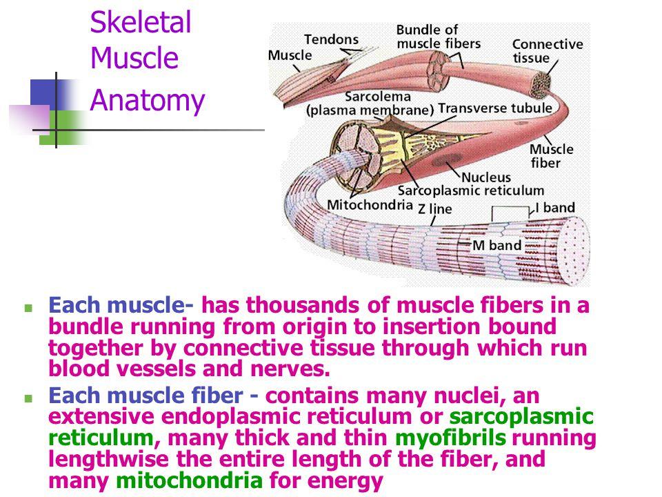 Skeletal Muscle Anatomy