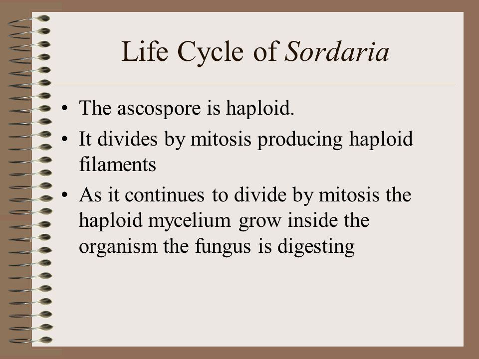 Life Cycle of Sordaria The ascospore is haploid.