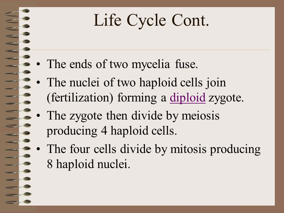 Life Cycle Cont. The ends of two mycelia fuse.
